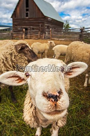 flock of sheep at williams lake