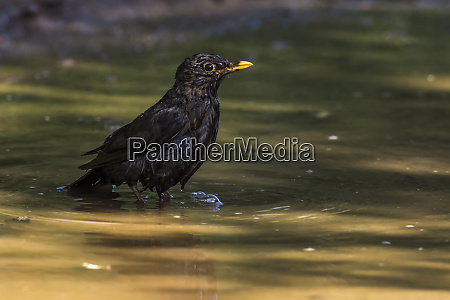 blackbird turdus merula takes a bath