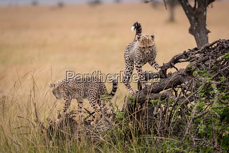 two cheetah cubs climb on dead