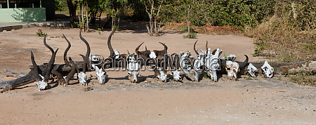 collection of skulls from african mammals