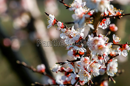 apricot tree flowers in spring season
