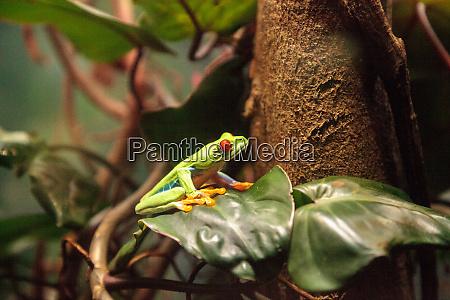 red eyed tree frog agalychnis callidryas