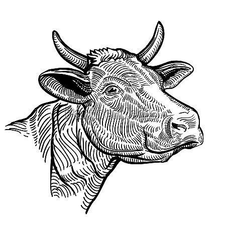 cow head close up in a
