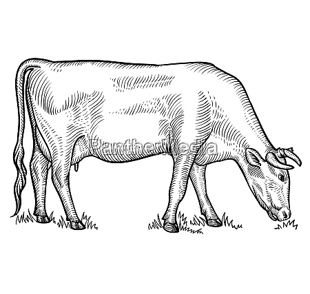 cow grazing on meadow cow in