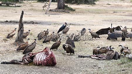 eat vultures