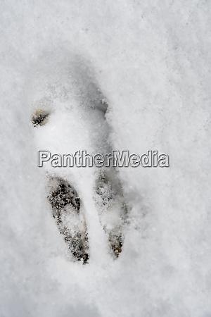 footprint of a wild rabbit