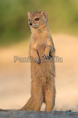 alert yellow mongoose