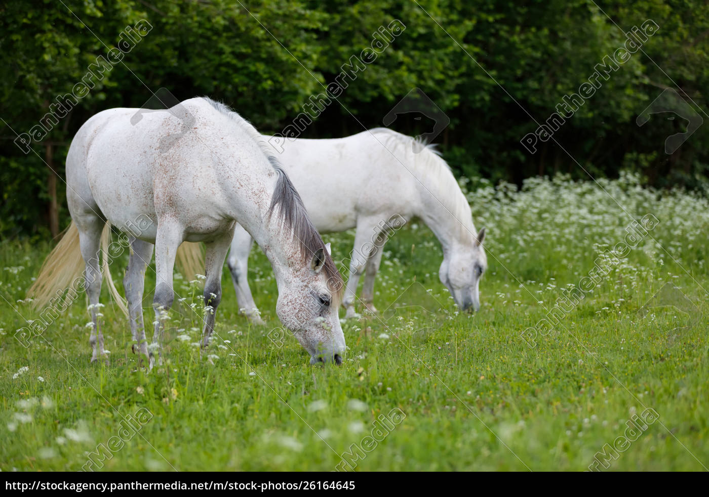 White Horse Running In Spring Pasture Stock Photo 26164645 Panthermedia Stock Agency