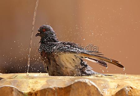 bathers street pigeon columba livia domestica