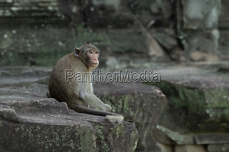 long tailed macaque sitting on angkor