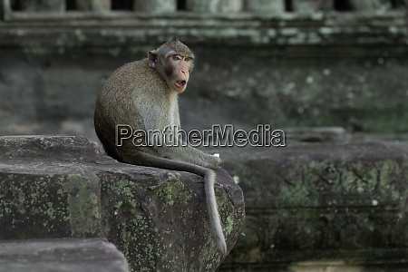 long tailed macaque sits eating at