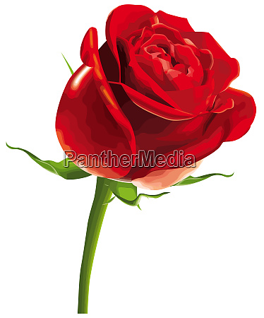 rose red flower romance blossom nature