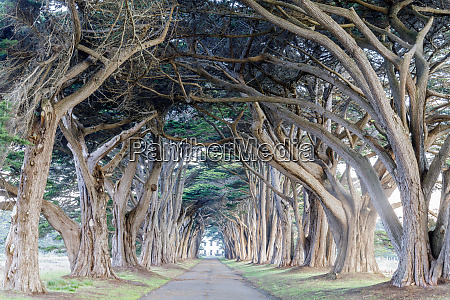signature cypress tree tunnel in inverness