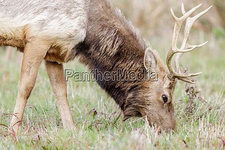 tule elk bull adult grazing