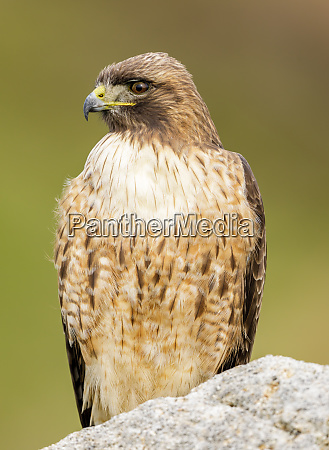red tailed hawk adult