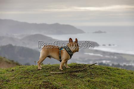 french bulldog looking at coastal views
