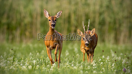 roe deer capreolus capreolus buck and