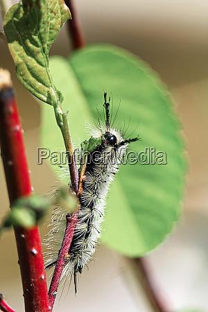 closeup of a tussock moth caterpillar