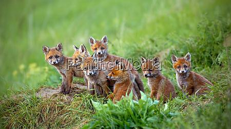 red fox vulpes vulpes cubs sitting