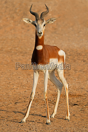 endangered dama gazelle