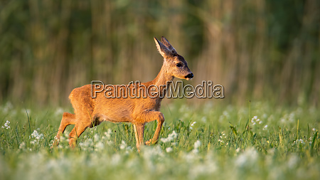 roe deer fawn walking on a