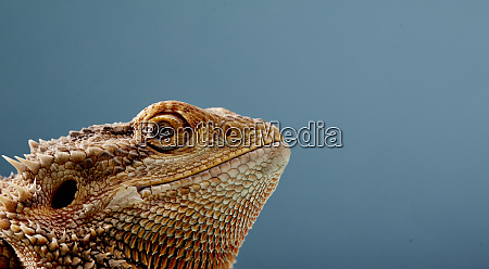 portrait of head of bearded dragon