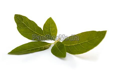 gynura procumbens plant