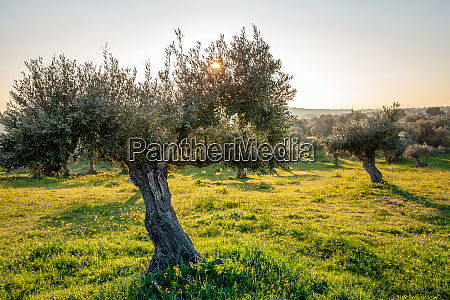 old olive trees grove in bright