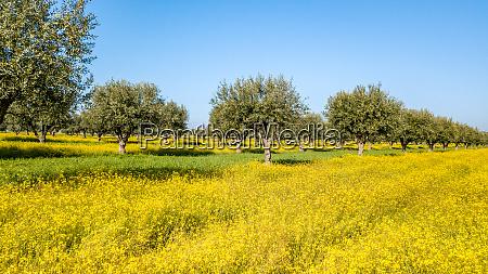flowery olive grove in alentejo portugal