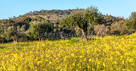 old olive trees grove in flowery
