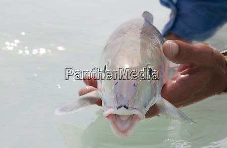 a bonefish in salt water near