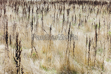 dry meadow grasses at dawn on