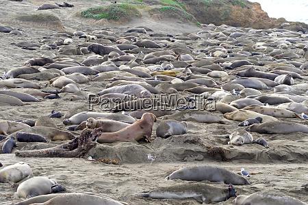many elephant seals hauled out on