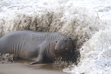 male elephant seal on the beach