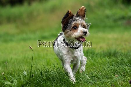 a little terrier with short hair
