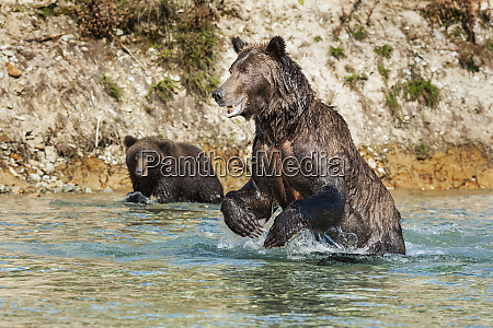 female kodiak bear ursus arctos middendorffi