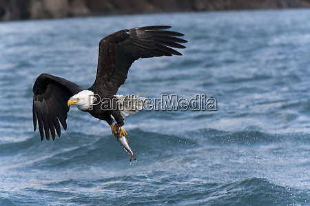 bald eagle haliaeetus leucocephalus with fresh