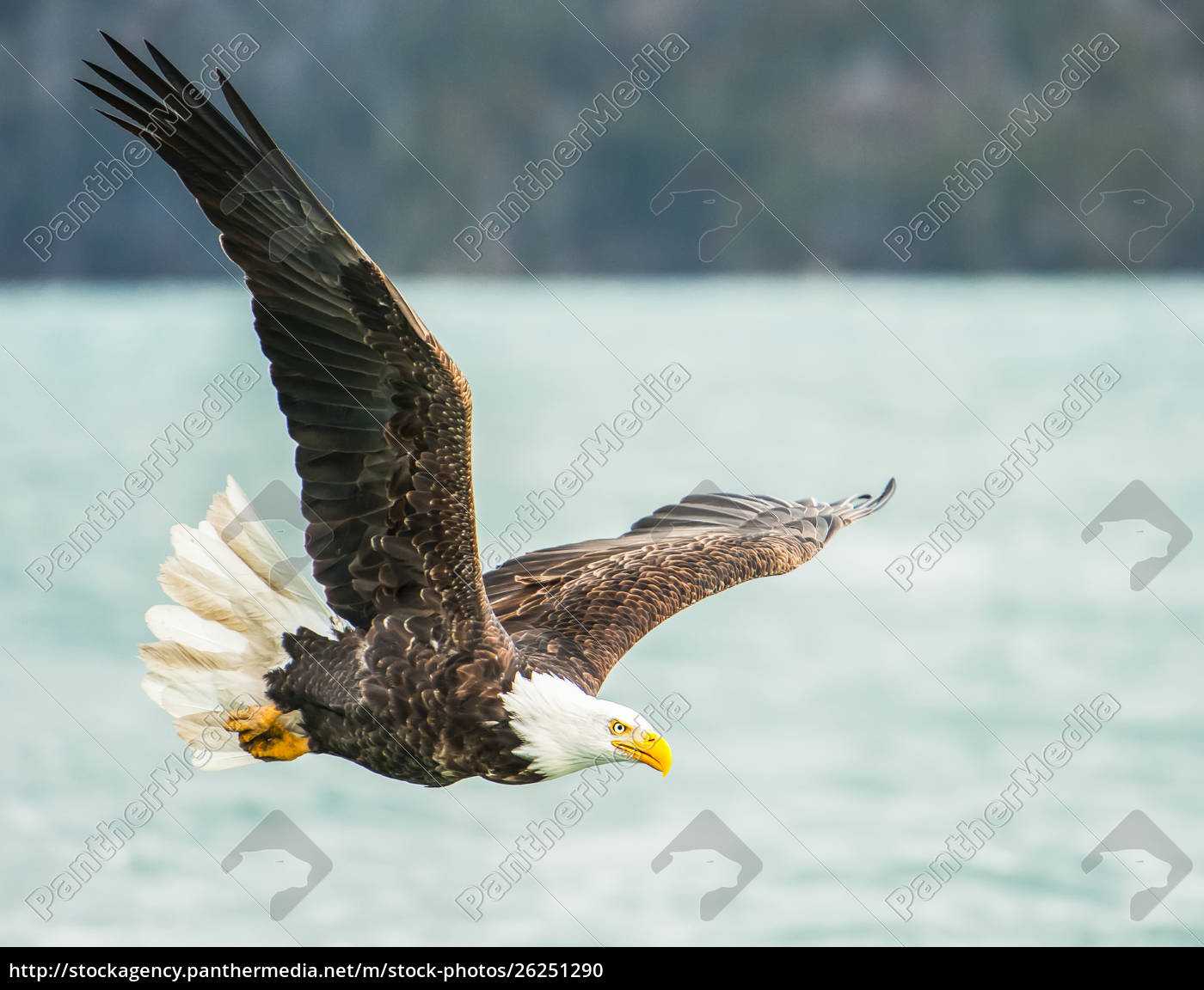 bald, eagle, (haliaeetus, leucocephalus), in, flight - 26251290