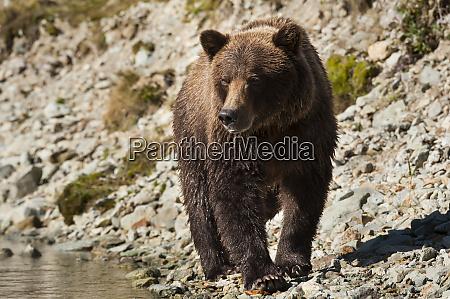 kodiak, bear, (ursus, arctos, middendorffi), walking - 26251304