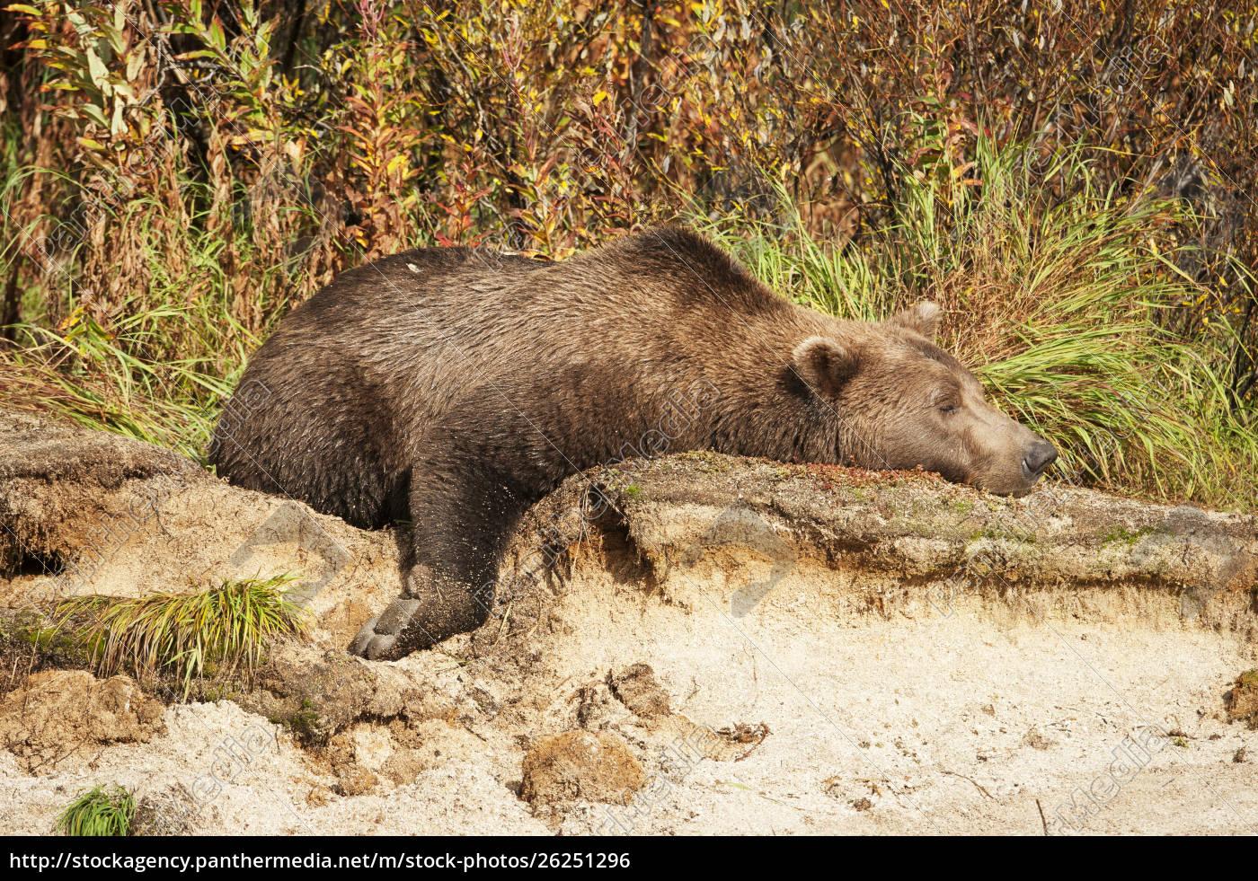 male, kodiak, bear, (ursus, arctos, middendorffi) - 26251296