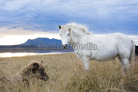 white icelandic horse and black foal