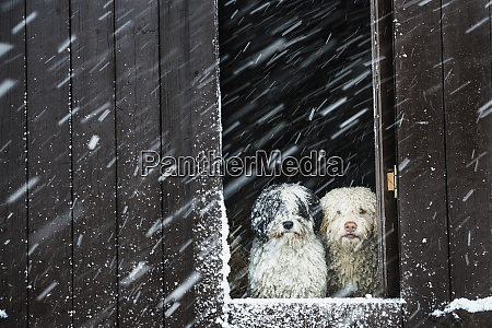 portrait dogs watching snow from barn