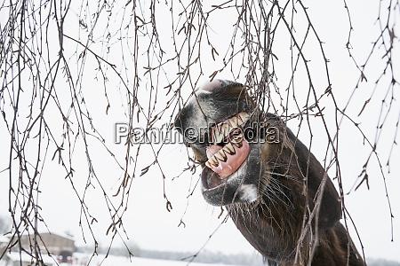 donkey biting branches