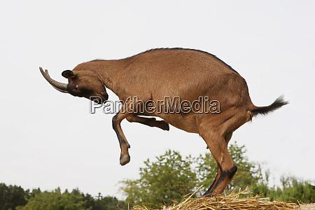 playful, chamois, rearing, up - 26300036