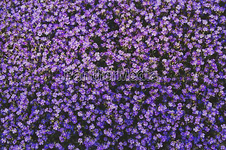 full frame vibrant purple violet flowers