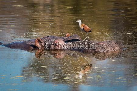 a hippopotamuss head half emerged under