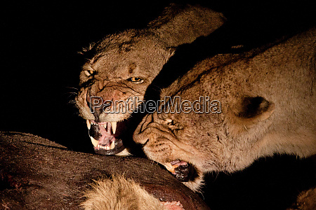 two female lioness panthera leo snarl