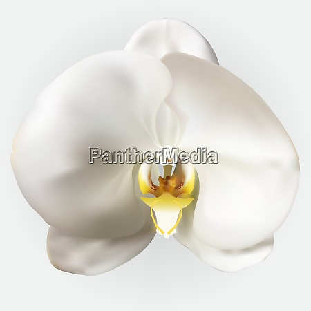 naturalistic beautiful colorful white orchidvector illustration