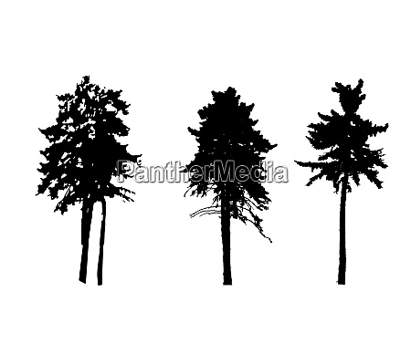 tree silhouette isolated on white backgorund