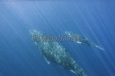 humpback whale and calf swimming underwater